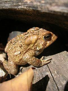 sl-algonquin-toad