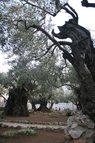 Garden of Gethsemane. Photo credit: David Le Ross
