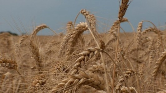 Wheat cropped