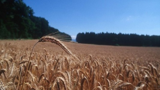 Wheat field cropped